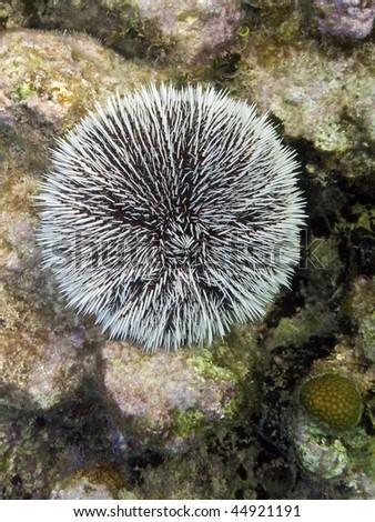 White urchin in Cuba - stock photo