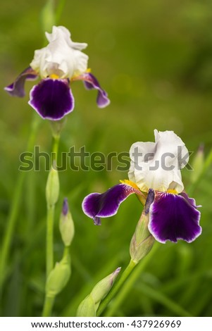 White-violet iris flower blooming on spring close up - stock photo