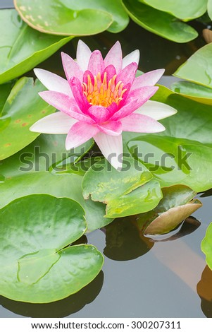 White violet water lily lotus flower in pond. - stock photo