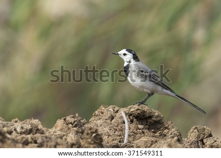 White wagtail bird  in low light
