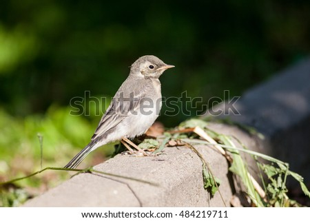 White Wagtail (Motacilla alba) in Nature. Russia.