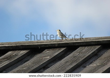 White wagtail (Motacilla alba) on the roof of a wooden house.