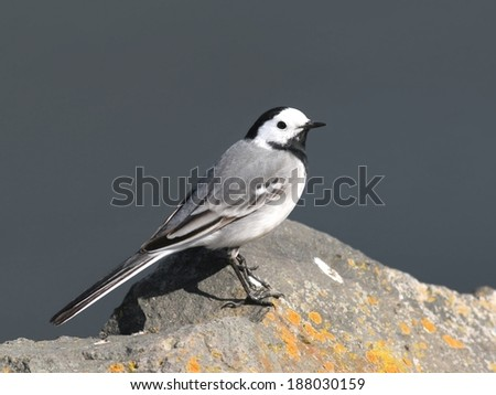 White wagtail perched on a stone - stock photo