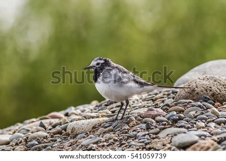 white wagtail sitting on the rocky shore