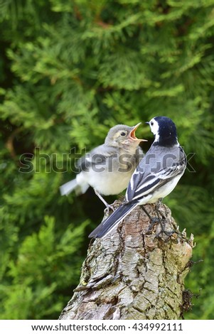 White wagtail with a child - stock photo