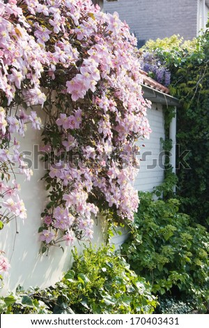 White wall with pink flowering Clematis montana in spring - stock photo
