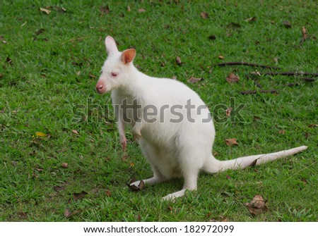 White Wallaby in the zoo.