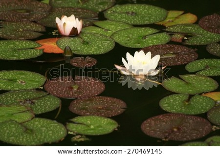 White water lilies - stock photo