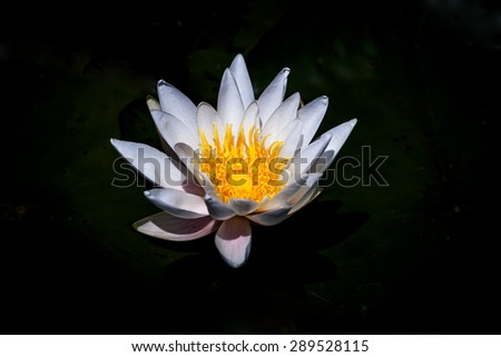 white water lilly floating in a black background  - stock photo