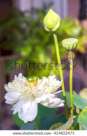 White water lily flower and buds (lotus). Lotus flower is a important symbol in Asian culture. - stock photo