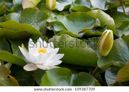 White water lily flower with yellow Stamens (Nymphae pygmaea) in bloom and closed up surrounded by big green leaves floating on the water - stock photo