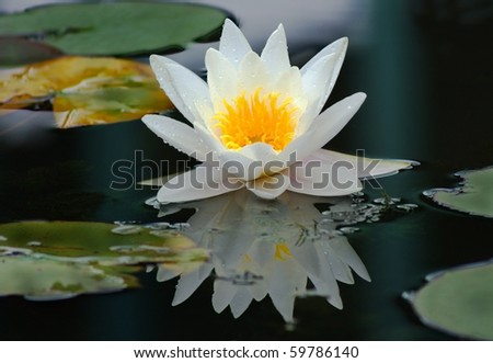 White water lily in the dew drops on the surface of the pond