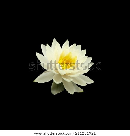 white water lily isolated on black background - stock photo