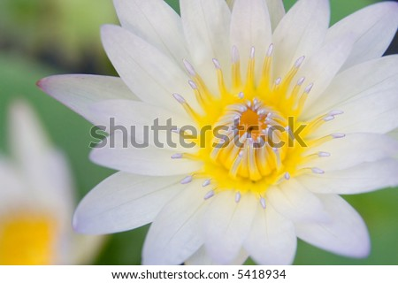 White water lily macro. Only stamen are sharp. Left, out of focus, another lily flower. Soft look.