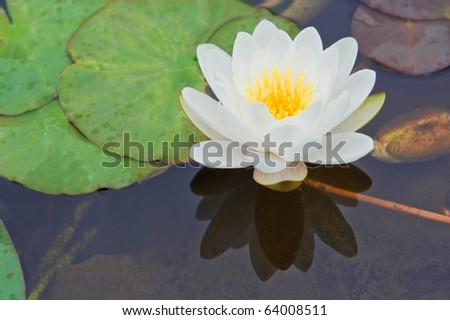 white water lily Nymphaea Alba among green leaves - stock photo