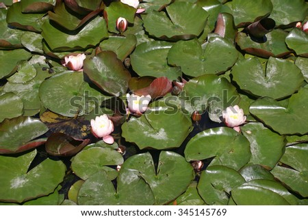 White water lily (Nymphaea alba) flowers and leaves in a pond. Leaves cover all the surface of the pond. - stock photo