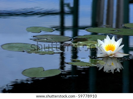 White water lily on the blue surface of the pond