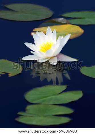 White water-lily with drops of morning dew on the blue surface of the pond
