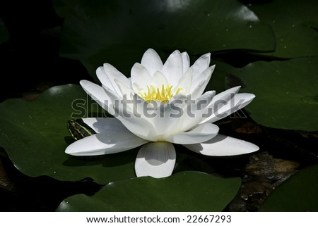 White water lily with frog - stock photo