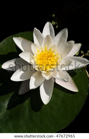 White waterlily with green leaf flowering in pond on sunny summer day - vertical - stock photo