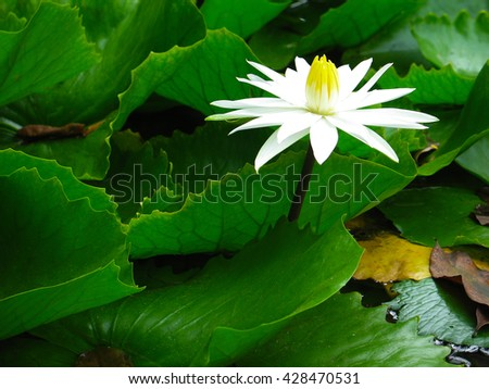 White waterlily with green leaves in a pond. Water lily. Lotus flower.  Lily flower.  Waterlily. - stock photo