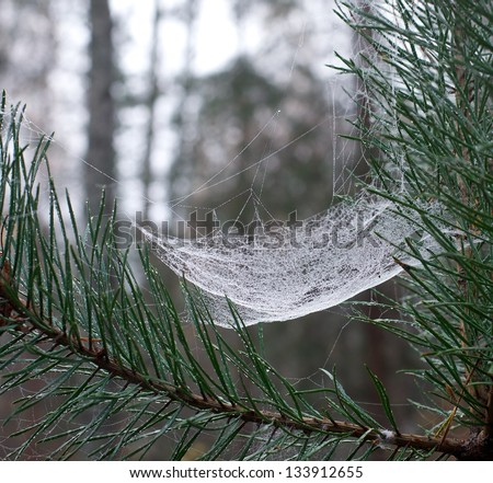 White web net spider's web close up between green pine branch with blur brown background, beautiful natural web close up with blur forest background,web detail view, nature fragment,web without spider - stock photo