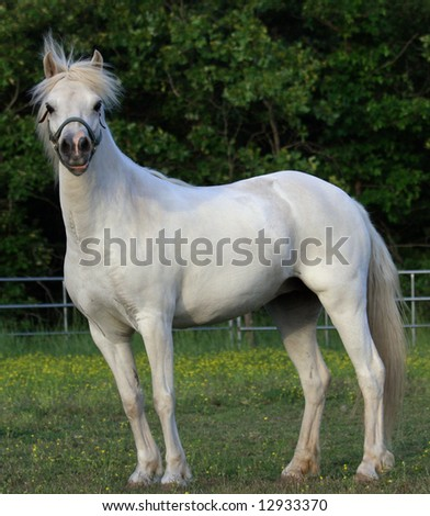 White Welsh pony standing in field with break away halter - stock photo