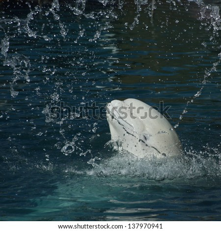 White whale in a spray of water (Beluga whale � Delphinapterus leucas)  - stock photo
