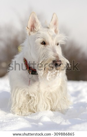 White (wheaten) scottish terrier, sitting on the snow during winter - stock photo