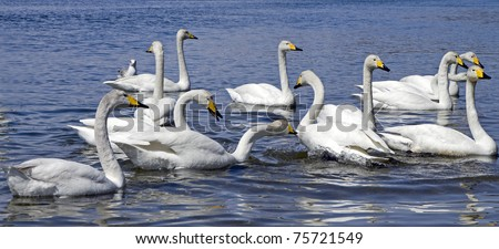 White whooper swan  in the water - stock photo