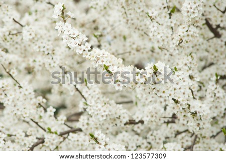 white wild cherry flowers blooming on branch, springtime - stock photo