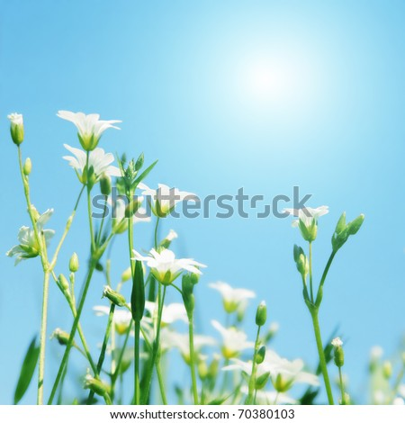 White wildflowers and morning sun. - stock photo