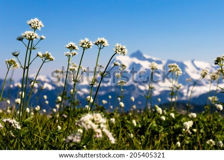 White wildflowers of Skyline Divide meadows with Mount Shuksan in the background, Washington State  - stock photo