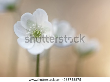 White windflowers or wood anemones (anemone nemorosa) on a bright background, selective focus, narrow depth of field - stock photo