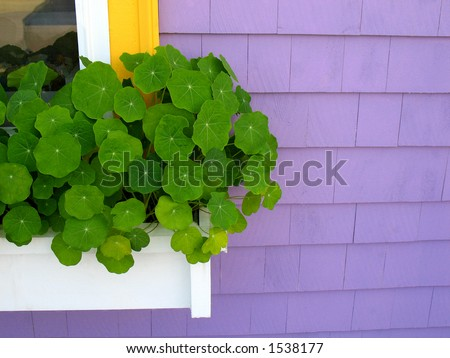 White window box against purple house with nasturtiums - stock photo