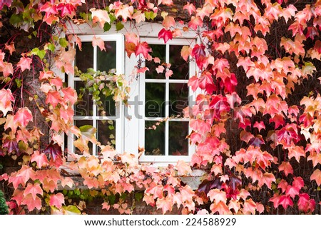 White window covered with autumn colored ivy. - stock photo