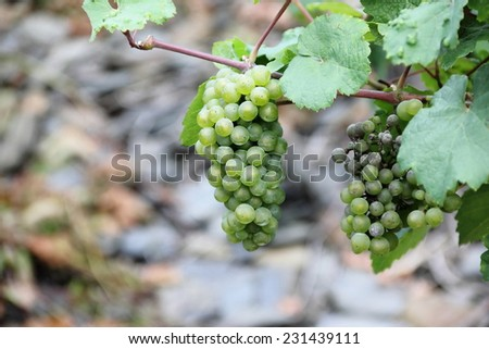 White wine grapes along the river Moselle (Mosel). Rhineland-Palatinate, Germany. - stock photo