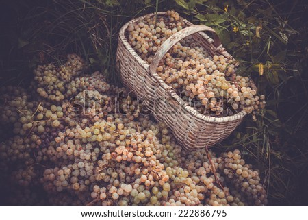White wine grapes in basket after the harvest at the vineyard. Toned picture - stock photo