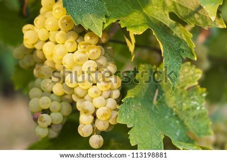White wine grapes on a vine - stock photo
