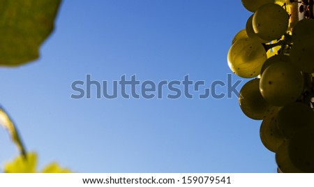 White wine grapes with copy space - stock photo