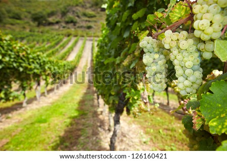 White wine Riesling grapes in German vineyard in autumn - stock photo