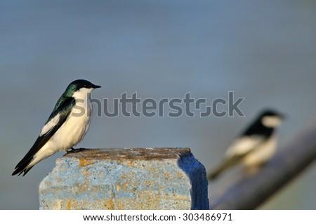 White-winged Swallow - stock photo