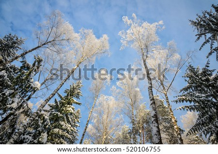white winter forest trees view from below