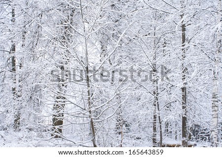 White winter landscape. Photography of branch on the forest. Beautiful wild garden, with lots of snow-covered trees and shrubs. Cloudy and overcast day. Freezing weather. - stock photo