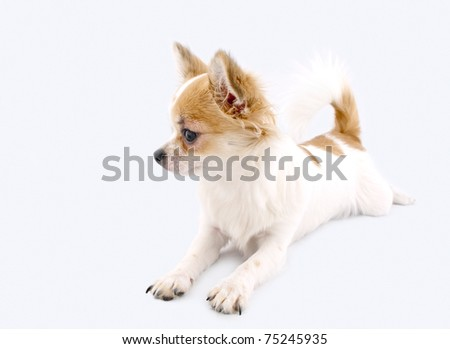 white with red chihuahua dog lying down isolated on white background