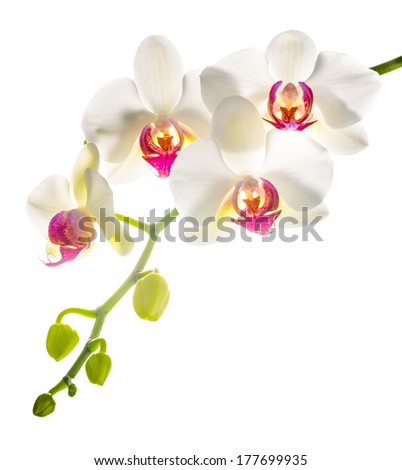 white with red   phalaenopsis with is isolated on white background - stock photo