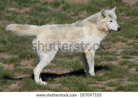 White wolf at a Colorado wildlife refuge. - stock photo