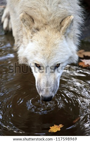 White wolf drinking water, close up shot - stock photo