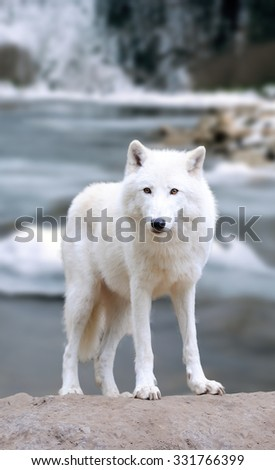 White wolf on the winter river
