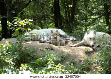White wolf's family (Canis  lupus  tundrorum) - stock photo